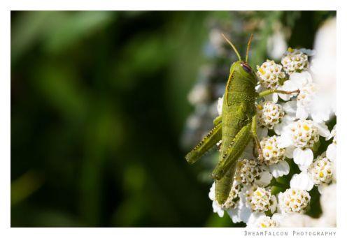 Anacrididum aegyptium - Egyptian Locust